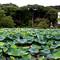 Japan-lotus_pond_1
